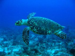 Hawksbill Turtle. Photo courtesy Wikimedia Commons.