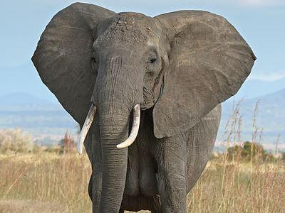 LAW-elephant
